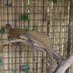 Philippino Iguana