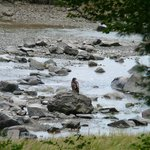 Young bald eagle seen from dining room window