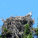 An osprey in its nest.