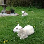Baby lambs welcoming me upon arrival