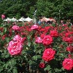 2013年のバラ祭