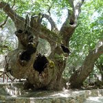 2,000 Years Old Tree