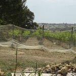 Animals working in the vineyards
