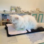matisse regina del Gatto Bianco