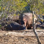 Hippos on the banks of Lake St Lucia