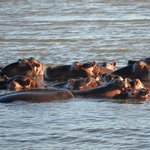 Hippos in Lake St Lucia
