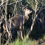 Kudu from Lake St Lucia