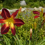 Carol's Gardens Feature Beautiful Daylillies