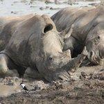 Rhinos wallowing