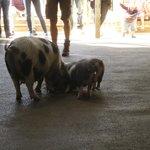 Meet the pigs !