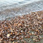 Tons of shells on the beach. Literally