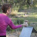 Feeding the Kookaburra
