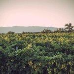 Sangiovese Wineyard