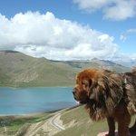 Tibetan Mastiff by mountain lake