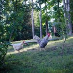 chickens on the property