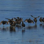 Coots running on ice.