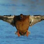 Mallard hen coming in for a landing.