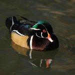 Wood duck drake