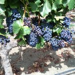 the grapes on the vines