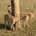 Our guide knew the cheetahs were headed for this tree and positioned us in the front row