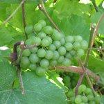 Grapes at a Winery!