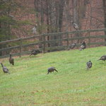 Flock of wild turkeys on farm