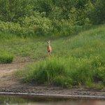 Un visiteur à la plage, un cerf de virginie nous observe.