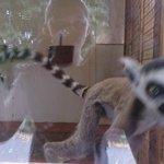 Daughter loves the Lemurs