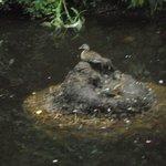 Ducks at Etherow