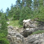 Moutain Goat above Waterfall at Logan Pass on Red Bus Tour-West Alpine Trip