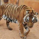 Tigre- Siberiano