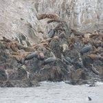 focas e leões marinhos