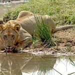 Lion at a water hole sipping!
