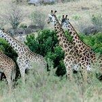 Giraffes everywhere...