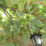Organic grape Vine at the guesthouse garden