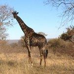 Curios giraffe