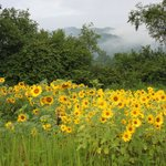 Sunflowers and Mountains on the Farm!