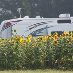 Sunflowers and RV on the farm.