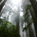 Magnificent redwoods in Jedediah Smith SP, AM hike