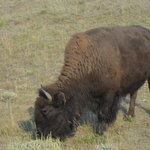 One of many Bison