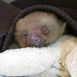 Sleepy Sloth Baby