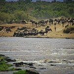 Mara crossing during the Great Migration