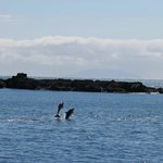 Dolphins in Enclosure Bay Sept 2013