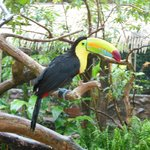 One of the toucan's in the animal preserve (all rescue animals)