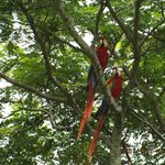 Macaws seen from Balcony