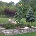 sunflower at the Lazy Pond.