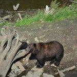 4 year old bear