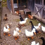 Geese, chickens and ducks
