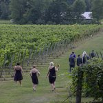 Wedding party walks among the grapes for photo opportunity