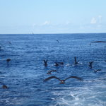 shearwaters follow closely and enjoy scraps